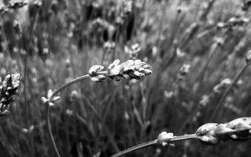 природа, растения, макро, чёрно-белое, размытость, колоски