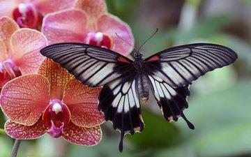 макро, насекомое, фон, цветок, бабочка, крылья, орхидея