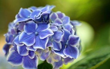 цветы, макро, цветок, размытость, боке, гортензия