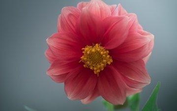 macro, flower, dahlia
