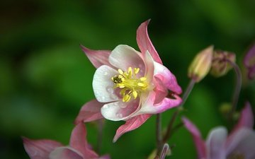 macro, flower, drops, blur, the catchment, aquilegia