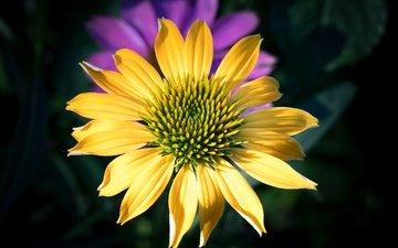 макро, цветок, лепестки, эхинацея