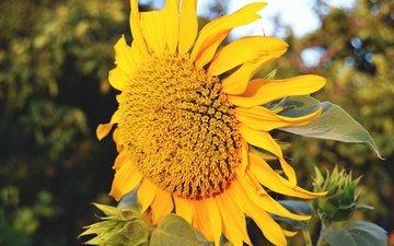 желтый, макро, цветок, лето, лепестки, подсолнух