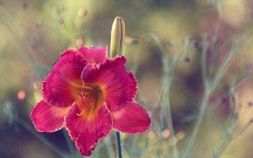 макро, цветок, лепестки, размытость, лилейник