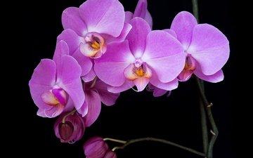 ветка, макро, фон, цветок, лепестки, черный фон, орхидея