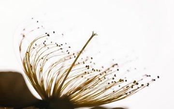 macro, background, flower, stamens