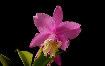 макро, фон, цветок, лепестки, черный фон, орхидея