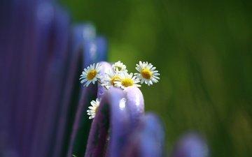 цветы, макро, фон, лето, забор, размытость, ромашки