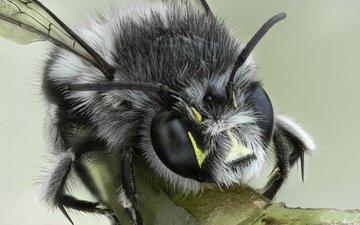 макро, насекомое, фон, взгляд, крылья, животное, пчела, шмель