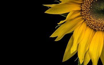 yellow, macro, background, flower, petals, sunflower, black background
