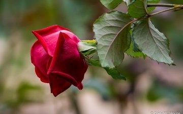 листья, макро, фон, роза, лепестки, размытость, бутон