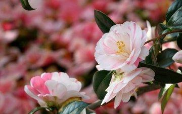 цветы, ветка, листья, макро, лето, лепестки, размытость, камелия