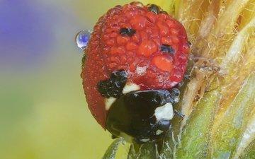 жук, макро, насекомое, капли, божья коровка, растение