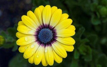макро, цветок, капли, лепестки, гербера