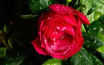 macro, flower, drops, rose, bud, after the rain