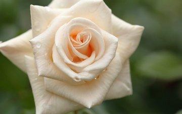 макро, капли, роза, лепестки, бутон