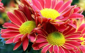 flowers, macro, petals, bouquet, chrysanthemum