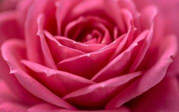макро, цветок, роза, лепестки, бутон