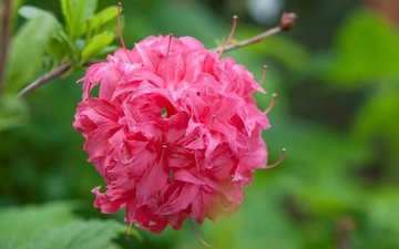 цветы, макро, лепестки, размытость, соцветие, азалия, рододендрон