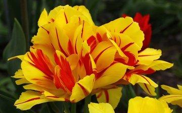 цветы, макро, лепестки, весна, тюльпаны, тюльпан