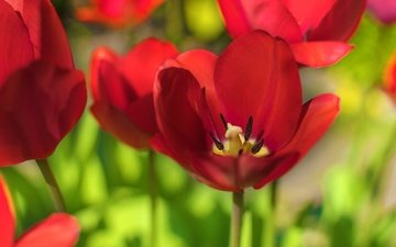 flowers, macro, petals, tulips, red tulips