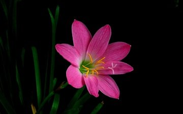 macro, flower, petals, black background, zephyranthes