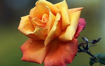 макро, цветок, роса, капли, роза, лепестки, бутон