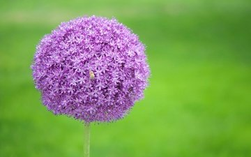 macro, insect, flower, inflorescence, decorative bow, allium