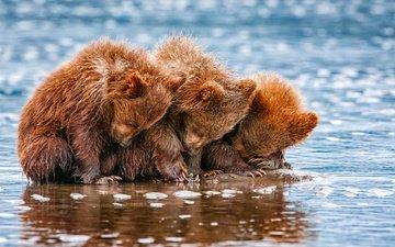 вода, животные, медведи, трое, детеныши, медвежата