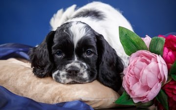 морда, цветок, собака, щенок, животное, подушка, спаниель