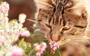 морда, цветы, природа, насекомое, кот, мордочка, усы, кошка, взгляд, оса, нюхает, вереск