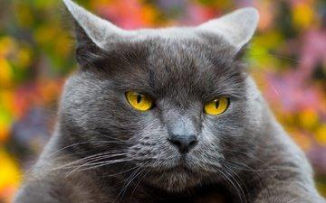 face, background, portrait, cat, muzzle, mustache, look, british, yellow eyes