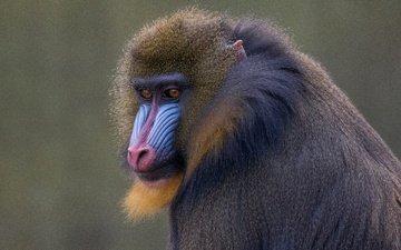 морда, фон, животные, обезьяна, приматы, мандрил