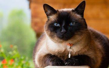 морда, кот, мордочка, усы, кошка, взгляд, ошейник, голубые глаза, сиамская