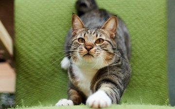 морда, кот, мордочка, усы, кошка, взгляд, ткань, полосатый, потягивается