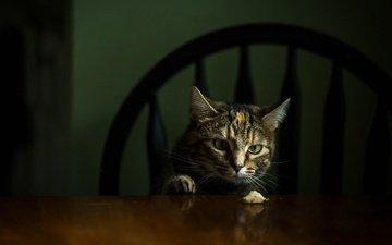 морда, кот, кошка, взгляд, стол, стул, темный фон