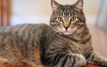 морда, кот, мордочка, усы, лапы, кошка, взгляд, лежит, серый, полосатый