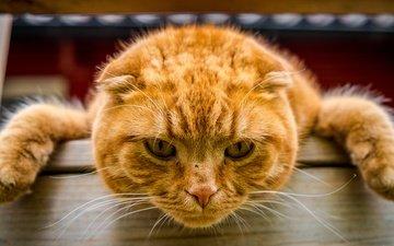 морда, кот, мордочка, усы, лапы, кошка, взгляд, рыжий кот