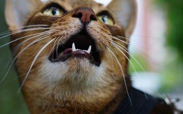 морда, кот, мордочка, усы, кошка, взгляд, клыки