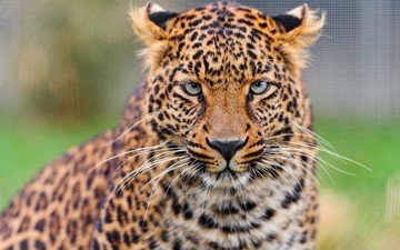 face, mustache, look, leopard, predator, big cat