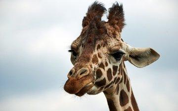 морда, небо, животные, африка, жираф