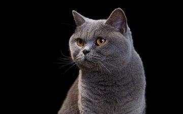 морда, портрет, кот, мордочка, усы, кошка, взгляд, черный фон, британец