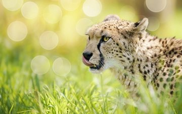 face, grass, glare, cheetah, wild cat, bokeh