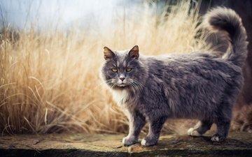 морда, трава, природа, кот, кошка, взгляд, серый