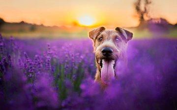 морда, цветы, вечер, солнце, природа, поле, лаванда, собака, животное, язык, пес