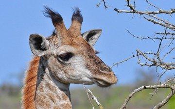 морда, ветки, колючки, животное, жираф, рожки
