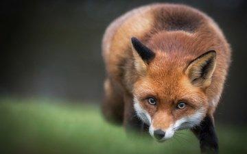 морда, взгляд, лиса, лисица, животное