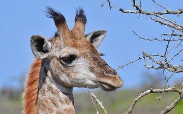 face, branches, barb, animal, giraffe, horns