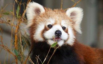 face, animals, red panda, zoo, nekofighter