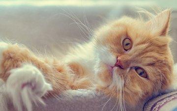 кот, мордочка, усы, кошка, взгляд, рыжий кот, персидская кошка